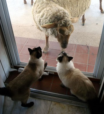 Cats and Sheep