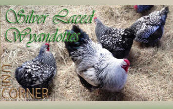 Silver Laced Wyandottes